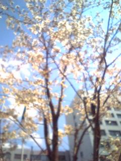 桜桜桜ヽ(<br />  ´ー`)ノ